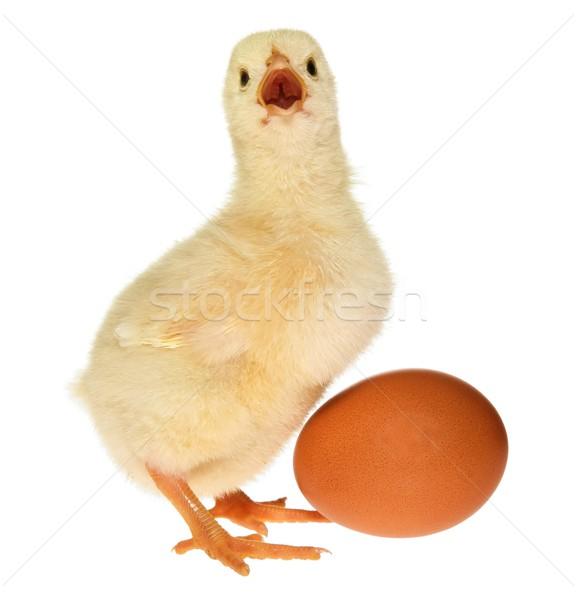 Baby Chick and Egg Stock photo © fouroaks