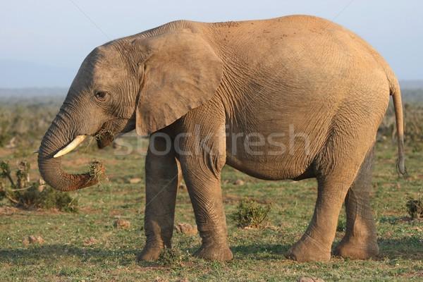 Afrika fil yeme çim yukarı doğa yeşil Stok fotoğraf © fouroaks