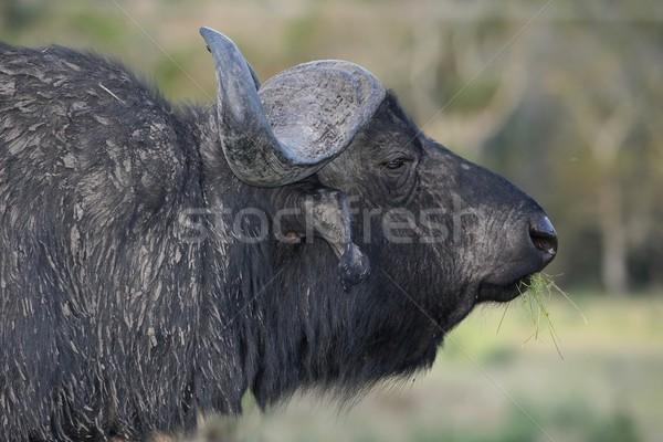 African Buffalo Bull Stock photo © fouroaks