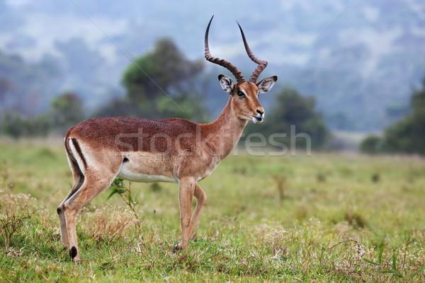 Impala Antelope Ram Stock photo © fouroaks