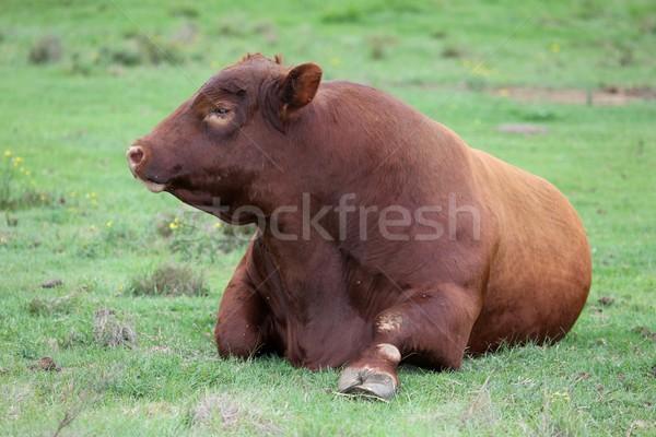 Brangus Cattle Bull Stock photo © fouroaks