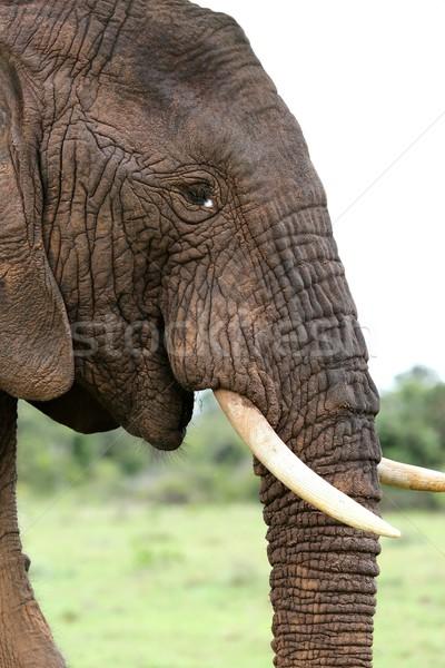 Afrikai elefánt profil fehér portré Afrika bőr Stock fotó © fouroaks