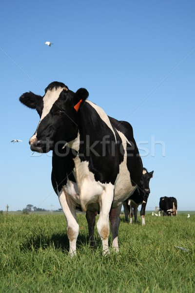 Cows in Pasture with Birds Stock photo © fouroaks