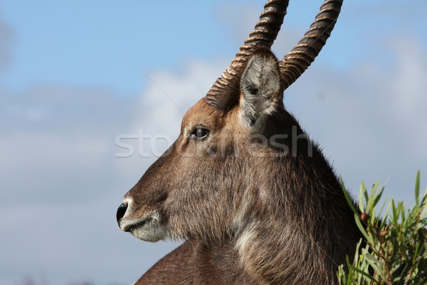 Waterbuck Antelope Stock photo © fouroaks