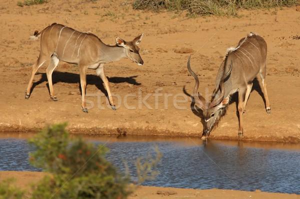 Kudu Antelope Pair Stock photo © fouroaks