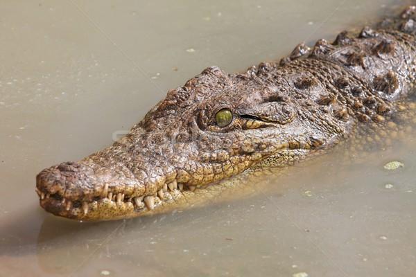 Krokodyla wody zielone oczy pływanie oka ciało Zdjęcia stock © fouroaks