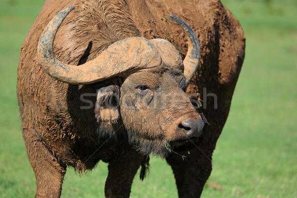 Boue Bull protection refroidissement animaux saleté Photo stock © fouroaks