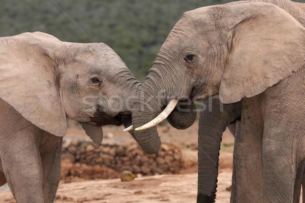 Stock photo: African Elephant Greeting