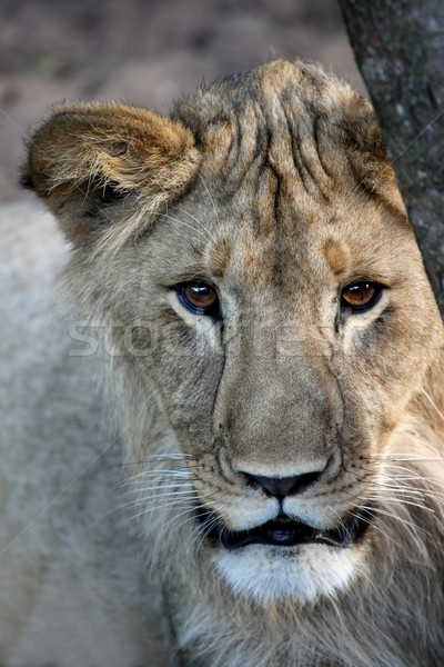 Leeuw jonge mannelijke mooie bruine ogen natuur Stockfoto © fouroaks