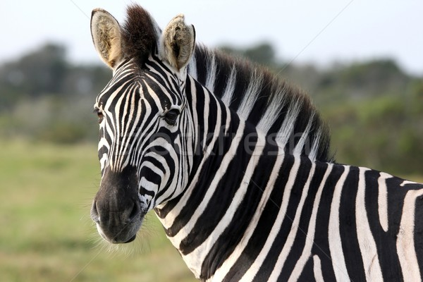 Zebra Portrait Stock photo © fouroaks