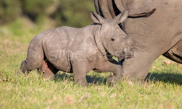 Cute baby neushoorn witte neushoorn lopen Stockfoto © fouroaks