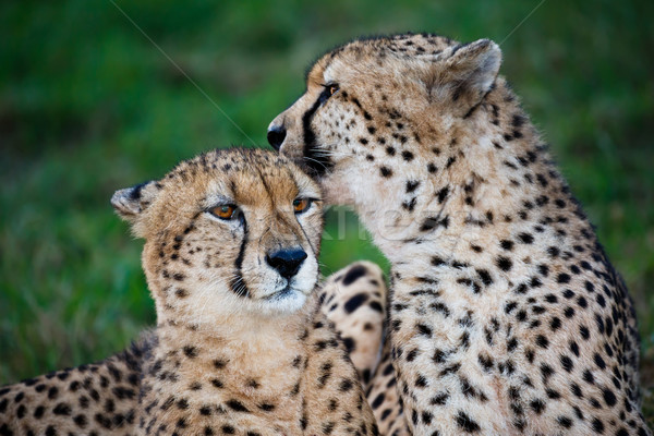 Guépard sauvage chat paire amour amis Photo stock © fouroaks