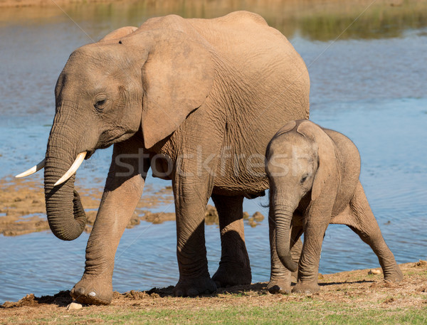 African Elephant Mom and Baby Stock photo © fouroaks