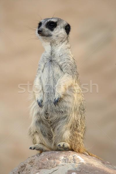 Meerkat or Suricate Stock photo © fouroaks