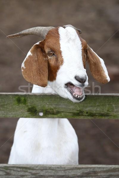 Bleating Goat Portrait Stock photo © fouroaks