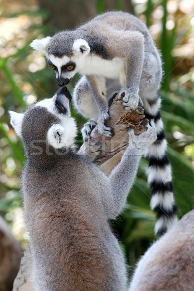 Lemur Primates Greeting Stock photo © fouroaks