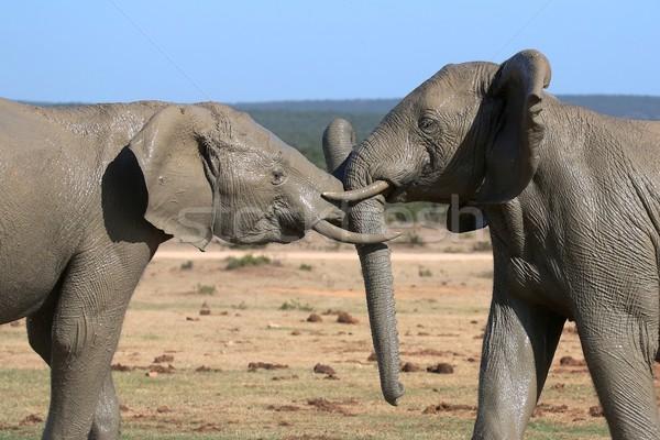 Elefante lucha dos fangoso África elefantes Foto stock © fouroaks