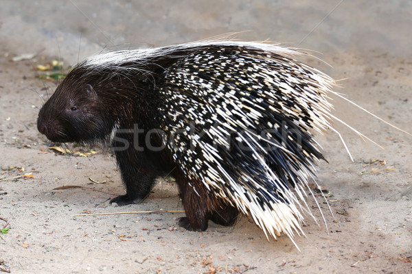 Porcupine Animal Stock photo © fouroaks