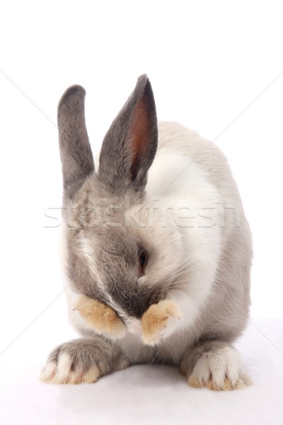 Bunny Rabbit Cleaning Stock photo © fouroaks