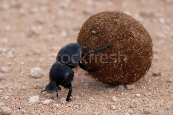 Dung Beetle Stock photo © fouroaks