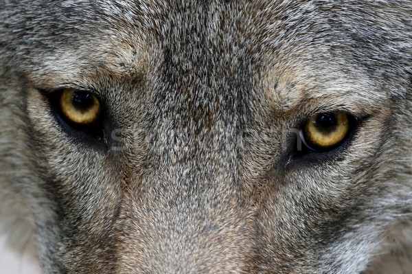 Wolf Eyes Stock photo © fouroaks