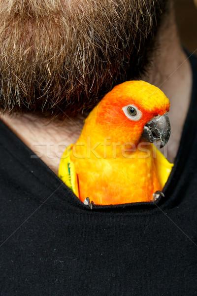 Pet Sun Conure Parrot Bird inside Shirt Stock photo © fouroaks