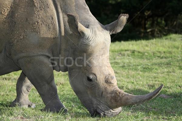 White Rhinoceros Potrait Stock photo © fouroaks