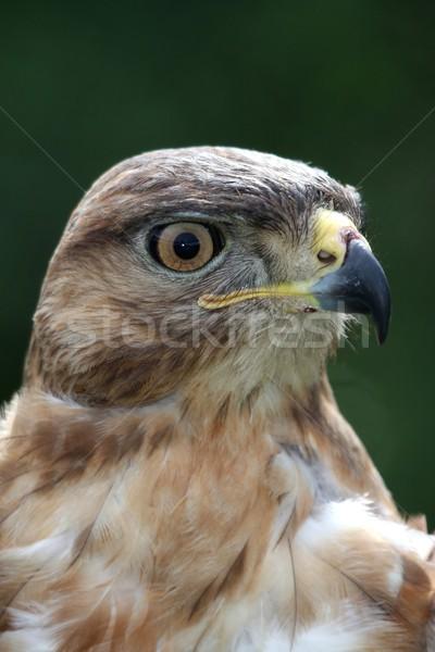Pipa pássaro retrato jovem olhando fundo Foto stock © fouroaks