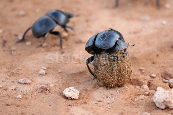 редкий жук мяча фон Африка черный Сток-фото © fouroaks