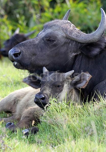 Tehén fiatal szeretet zöld állat aranyos Stock fotó © fouroaks