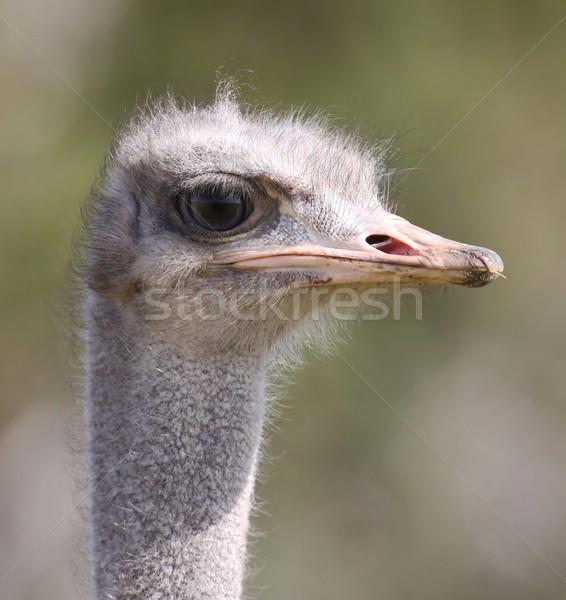 Female Ostrich Portrait Stock photo © fouroaks