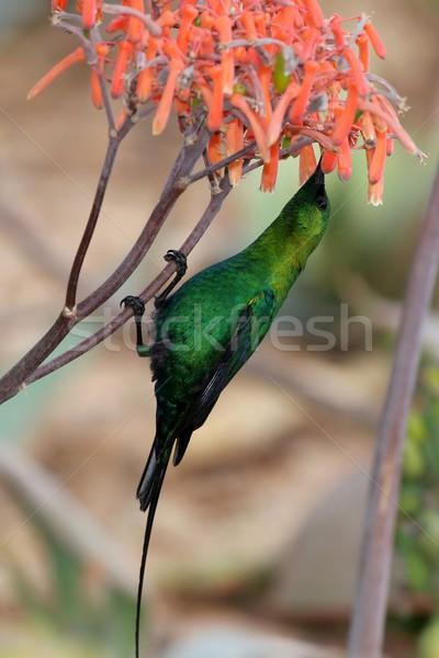 Malaquita belo néctar aloés planta Foto stock © fouroaks
