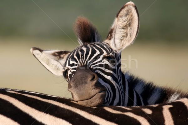 Zebra Foal Resting Stock photo © fouroaks