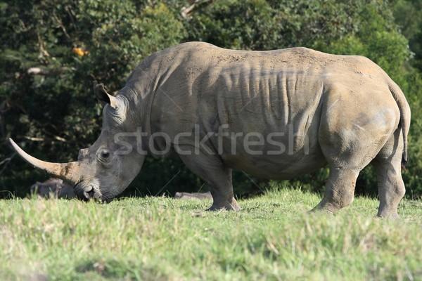Stock photo: White Rhinoceros