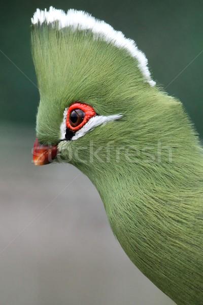 Knysna Loerie or Turaco Bird Stock photo © fouroaks