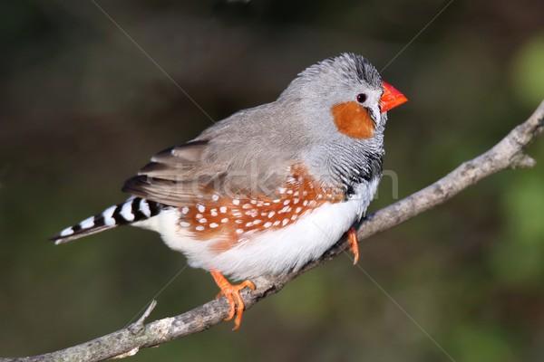 シマウマ 男性 かなり オレンジ 鳥 羽毛 ストックフォト © fouroaks