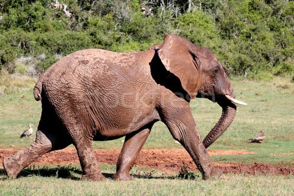 Африканский слон из большой движущихся торопить ходьбе Сток-фото © fouroaks