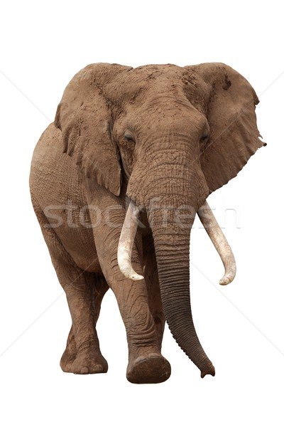 African Elephant Isolated on White Stock photo © fouroaks