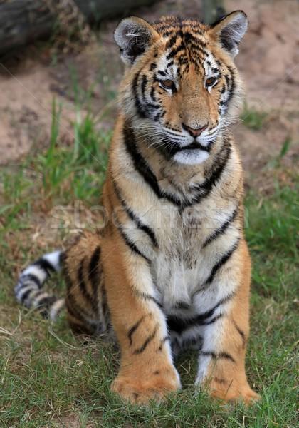 小さな 虎 美しい 縞模様の 毛皮 座って ストックフォト © fouroaks