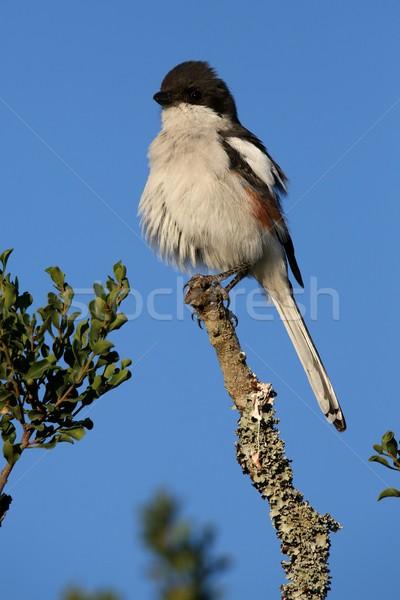 Vrouwelijke fiscale vogel top tak hemel Stockfoto © fouroaks