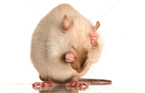 Pet Rat Grooming Stock photo © fouroaks