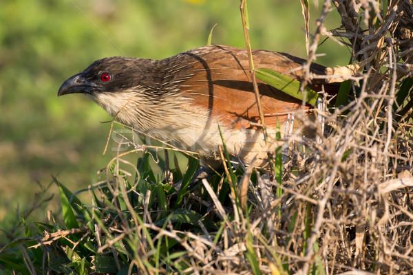 Burchell's Coucal Bird Stock photo © fouroaks