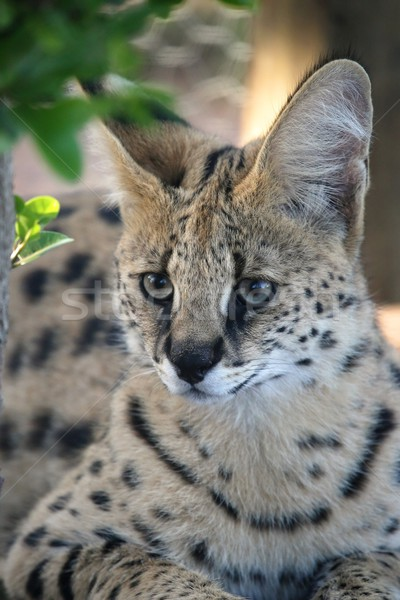 Kedi büyük kulaklar yüz Afrika Stok fotoğraf © fouroaks