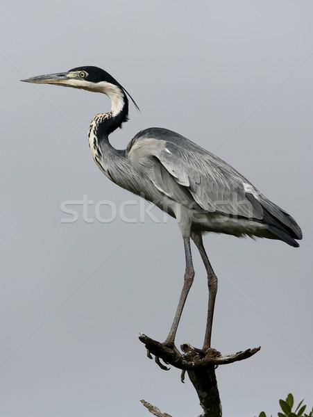 Fekete kócsag madár hosszú lábak nyak kék Stock fotó © fouroaks