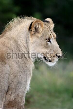 Oroszlán gyönyörű bámul távolság nagy barna szemek Stock fotó © fouroaks