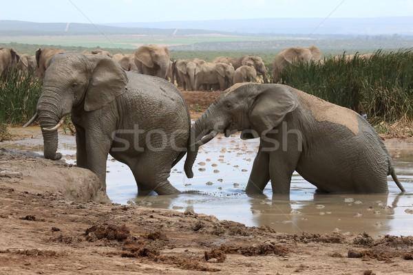 Elephant Mud Bath Stock photo © fouroaks