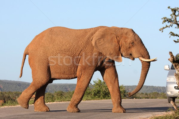 African Elephant Crossing Road Stock photo © fouroaks