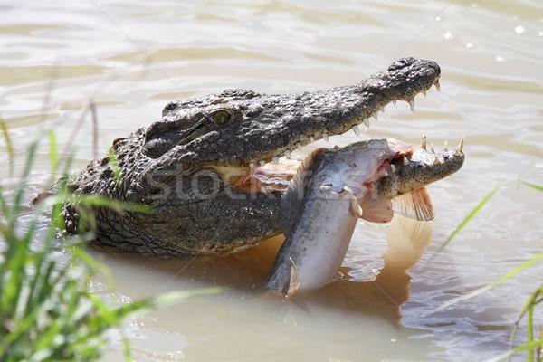 Crocodile and Fish Stock photo © fouroaks