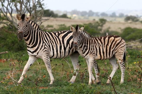 Zebras Stock photo © fouroaks