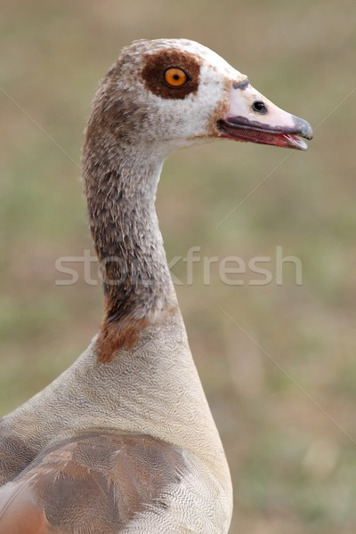 Egyptian Goose Portrait Stock photo © fouroaks